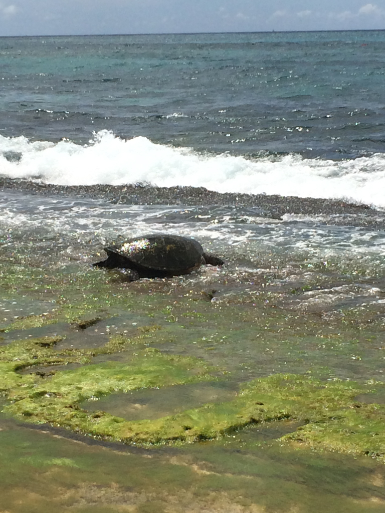 the best place to see hawaiian green sea turtles on oahu-4