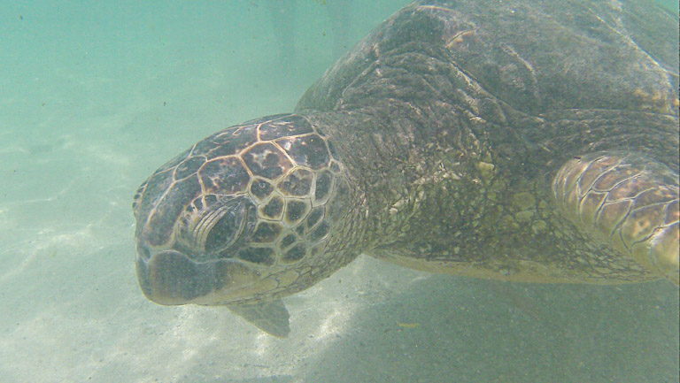 the best place to see turtles on oahu (1 of 63)