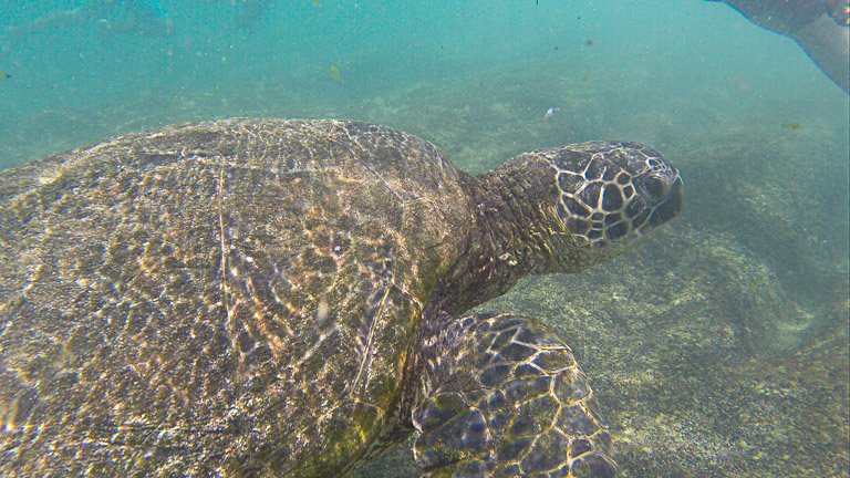 the best place to see turtles on oahu (10 of 63)