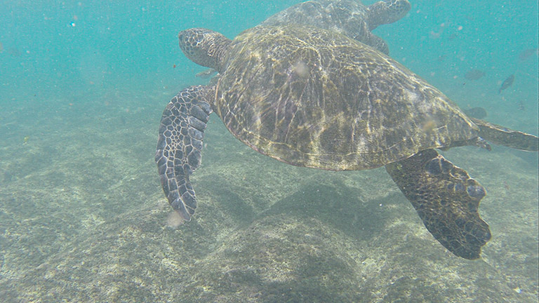 the best place to see turtles on oahu (15 of 63)