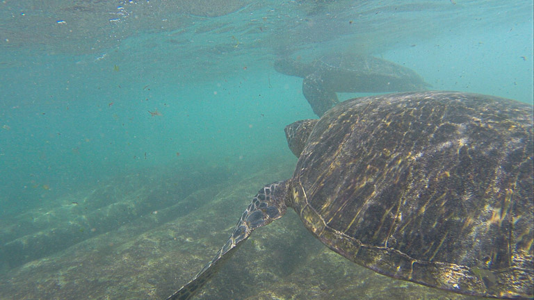 the best place to see turtles on oahu (16 of 63)