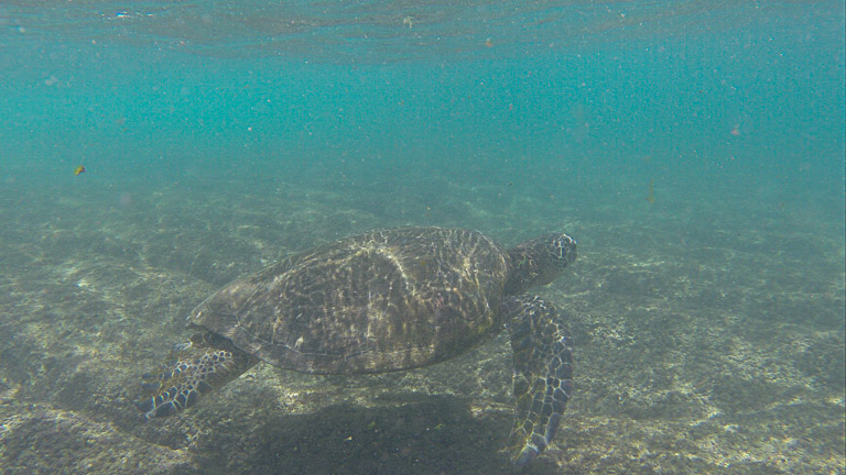 the best place to see turtles on oahu (17 of 63)