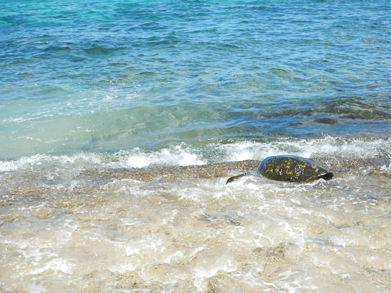 the best place to see turtles on oahu (47 of 63)