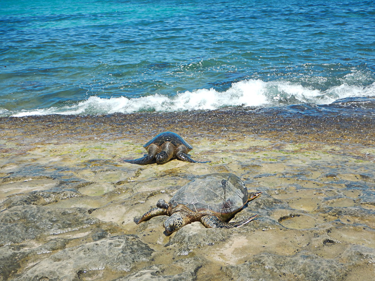 the best place to see turtles on oahu (48 of 63)