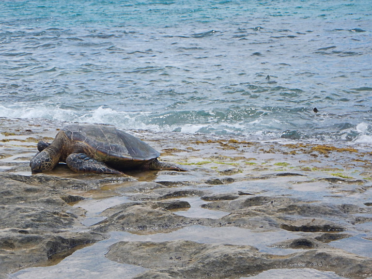 the best place to see turtles on oahu (62 of 63)-2