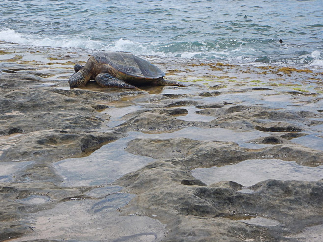 the best place to see turtles on oahu (62 of 63)