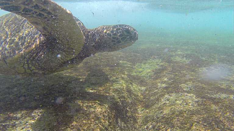the best place to see turtles on oahu (7 of 63)