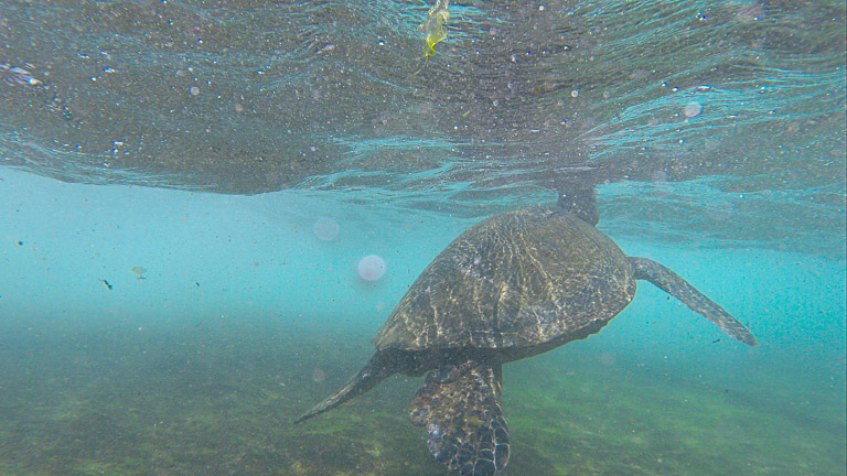the best place to see turtles on oahu (8 of 63)