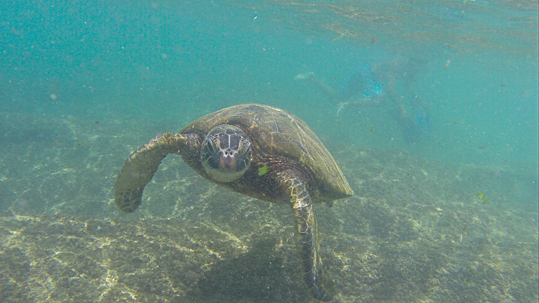 the best place to see turtles on oahu (9 of 63)